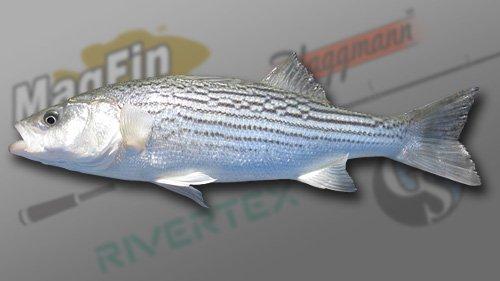 Striper Bass1.jpg