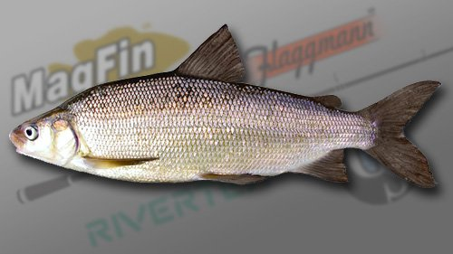 large.59e8e19c26e86_LakeWhitefish.jpg.70