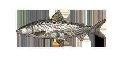 whitefish.png